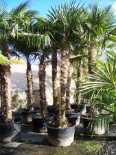 Six Foot Palm